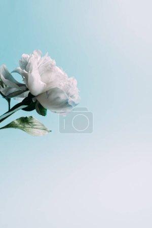 Photo pour Pivoine blanche sur fond bleu avec espace de copie - image libre de droit