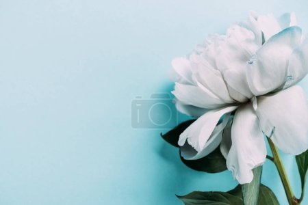 Photo for Top view of white peony on blue background - Royalty Free Image
