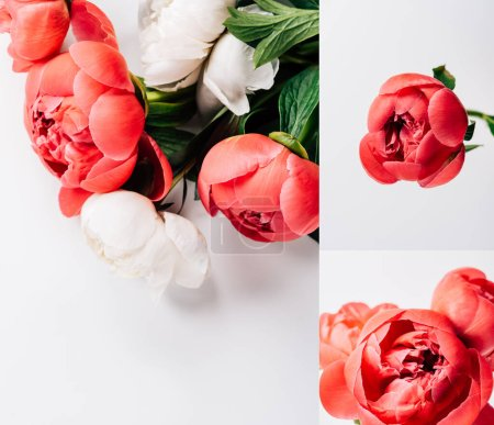 Photo for Collage of red and white peonies on white background - Royalty Free Image