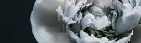 close up view of blue and white peony isolated on black, panoramic shot