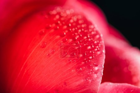 Photo for Close up view of pink peony petal with water drops isolated on black - Royalty Free Image