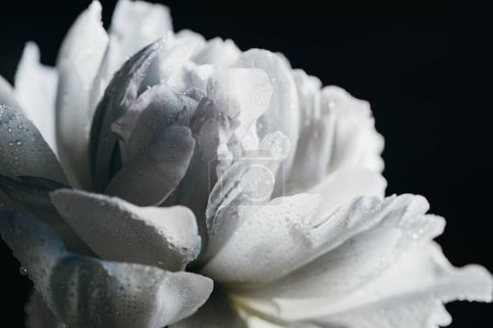 Photo for Close up view of blue and white peony with drops isolated on black - Royalty Free Image