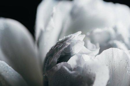 Photo pour Vue rapprochée de pivoine bleue et blanche avec des gouttes isolées sur noir - image libre de droit