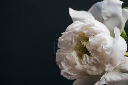 Photo pour Vue rapprochée de pivoine blanche isolée sur noir - image libre de droit