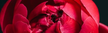 Photo for Close up view of pink peony isolated on black, panoramic shot - Royalty Free Image