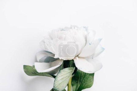 Photo pour Vue de dessus de pivoine bleue et blanche avec des feuilles vertes sur fond blanc - image libre de droit