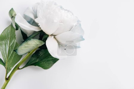 Photo for Top view of blue and white peony with green leaves on white background - Royalty Free Image