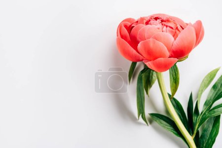 Photo for Pink peony with green leaves on white background - Royalty Free Image
