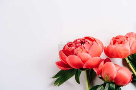 Photo pour Vue de dessus des pivoines roses avec des feuilles vertes sur fond blanc - image libre de droit