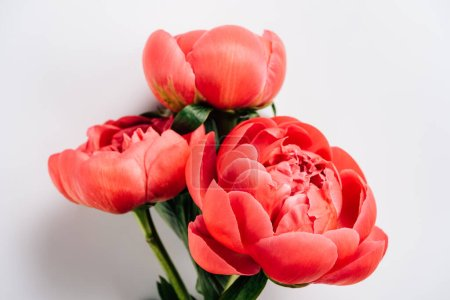 Photo for Top view of pink peonies with green leaves on white background - Royalty Free Image