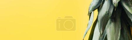 Photo pour Feuilles d'ananas vertes isolées sur fond jaune, panoramique - image libre de droit