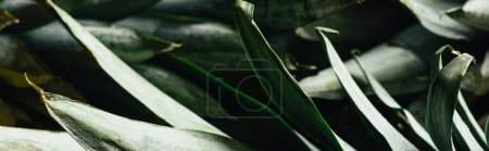 Photo for Close up view of green pineapple leaves, panoramic shot - Royalty Free Image