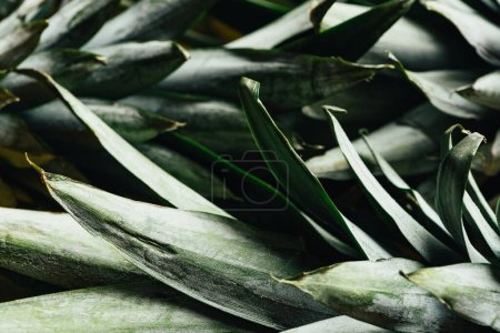 Photo for Close up view of green pineapple leaves - Royalty Free Image