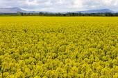 Yellow rapeseed flowers fields near Castlerock, Derry County, Northern Ireland