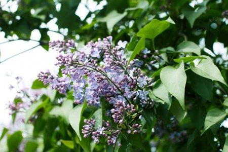 close-up shot of blooming lilac flowers on tree outdoors