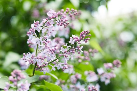 Photo for Close-up shot of beautiful lilac flowers on tree outdoors - Royalty Free Image