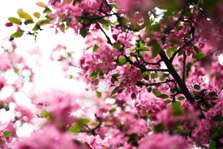 close-up shot of aromatic pink cherry blossom on tree
