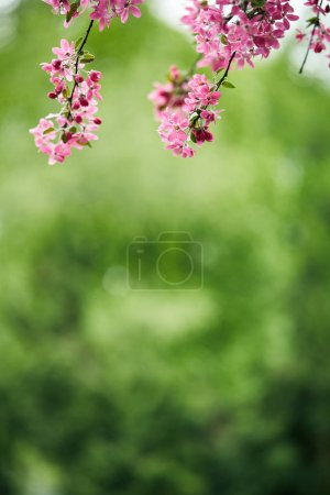 Photo for Close-up shot of beautiful pink cherry blossom on green natural background - Royalty Free Image