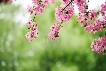 Photo pour Gros plan de la fleur de cerisier rose sur fond naturel vert - image libre de droit