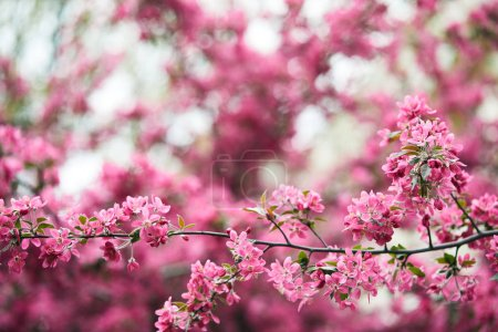 Photo for Close-up shot of beautiful pink cherry flowers on tree outdoors - Royalty Free Image