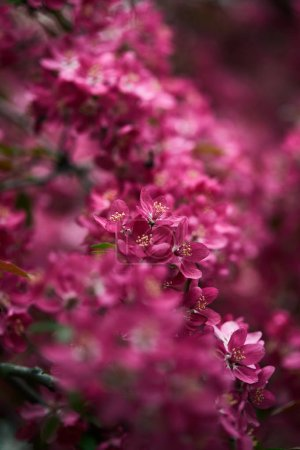 Photo for Close-up shot of aromatic pink cherry flowers on tree - Royalty Free Image