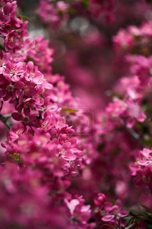 close-up shot of pink cherry flowers on tree