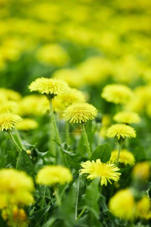 close-up shot of yellow dandelion flowers on meadow