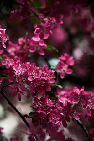 Photo pour Gros plan de belles fleurs de cerisier rose sur l'arbre - image libre de droit