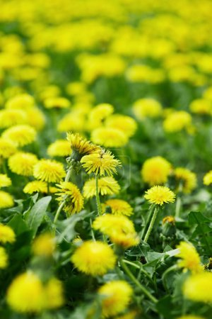 close-up shot of beautiful yellow dandelion flowers on meadow