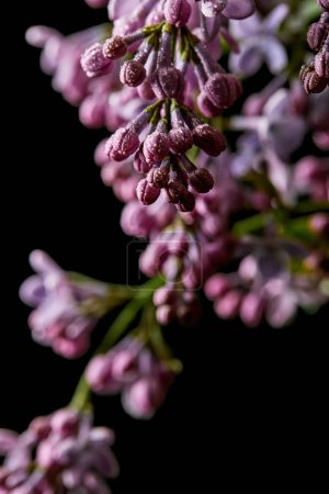 close-up shot of aromatic lilac flowers covered with water drops isolated on black