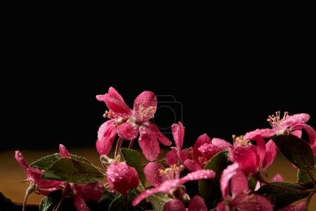 close-up shot of beautiful pink cherry flowers isolated on black