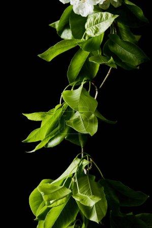 Foto de Primer tiro de rama de cerezo con hojas aisladas en blanco - Imagen libre de derechos