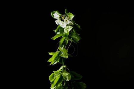 Foto de Primer tiro de ramo de flores florecientes cereza y hojas aislados en negro - Imagen libre de derechos