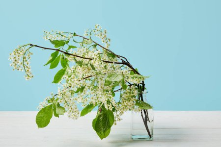 branches of white bird cherry blossom in glass isolated on blue