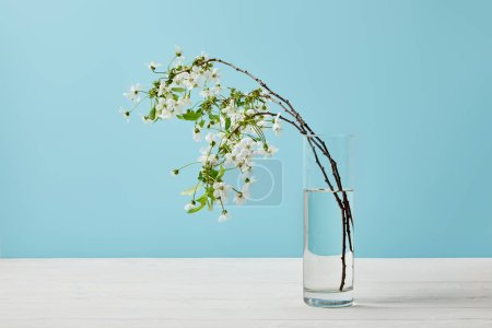 close-up shot of branches of aromatic cherry blossom in glass isolated on blue