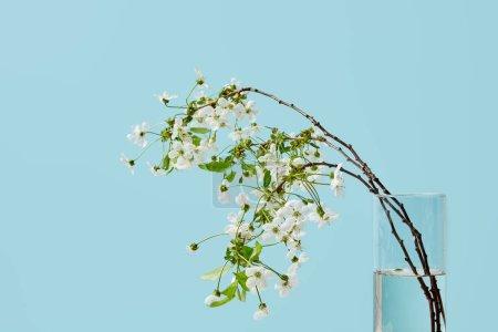 Photo pour Gros plan des branches de fleurs de cerisier blanc dans un vase isolé sur bleu - image libre de droit