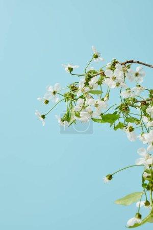 Foto de Primer tiro de ramo de flores de cerezo aromáticos aislado en azul - Imagen libre de derechos