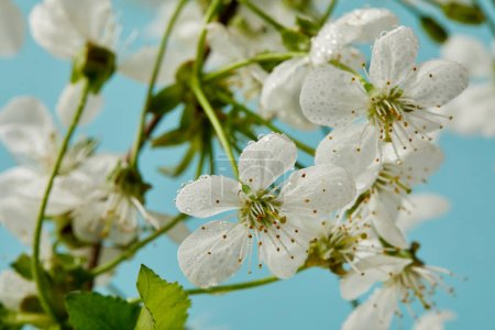 Photo for Close-up shot of beautiful cherry blossom isolated on blue - Royalty Free Image