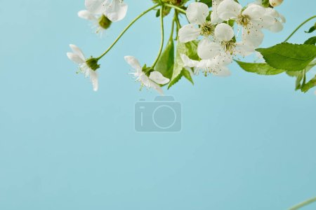 Photo for Close-up shot of white cherry flowers isolated on blue - Royalty Free Image