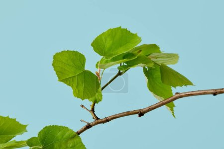 beautiful green leaves on linden branch isolated on blue