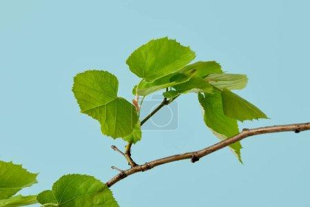 Foto de Hojas de color verde hermosa en linden rama aislado en azul - Imagen libre de derechos