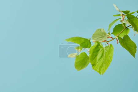 green leaves on tilia branch isolated on blue