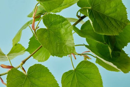 close-up shot of green linden branch isolated on blue