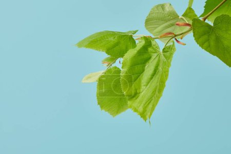 close-up shot of beautiful tilia branch isolated on blue