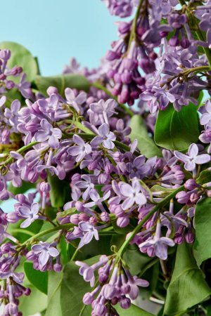 close-up shot of branches of spring lilac flowers isolated on blue