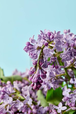 Photo for Close-up shot of beautiful aromatic lilac flowers isolated on blue - Royalty Free Image