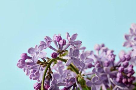 Photo pour Gros plan de belles fleurs lilas printanières isolées sur bleu - image libre de droit