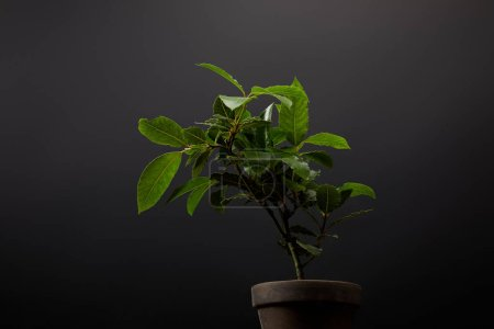 close up view of plant with green leaves in flowerpot on black wall background