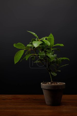 Photo for Close up view of plant with green leaves in flowerpot on black wall background - Royalty Free Image