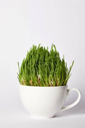 spirulina grass in cup isolated on grey background